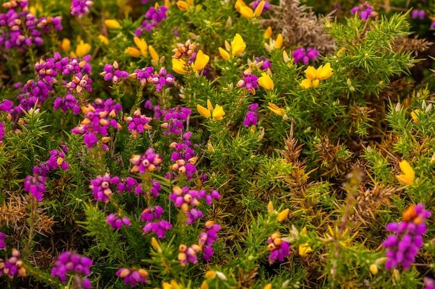 Деталь фиолетовых и желтых цветов летом в phare du cap frehel, это морской маяк в кот-д'армор (франция). на вершине мыса фрехеля