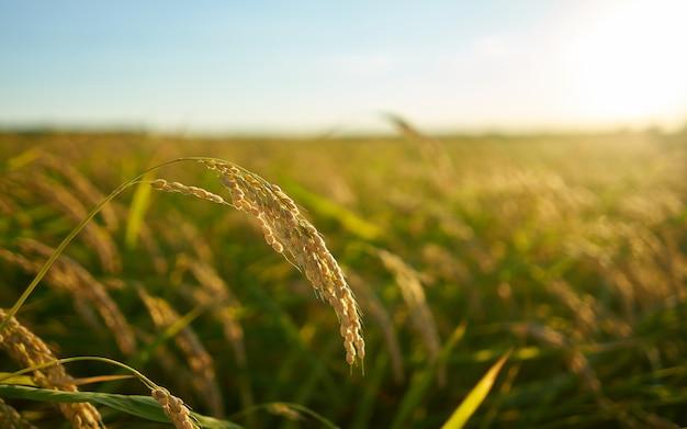 초점이 농장과 발렌시아에서 일몰 쌀 식물의 세부 사항. 식물 씨앗의 쌀 곡물.