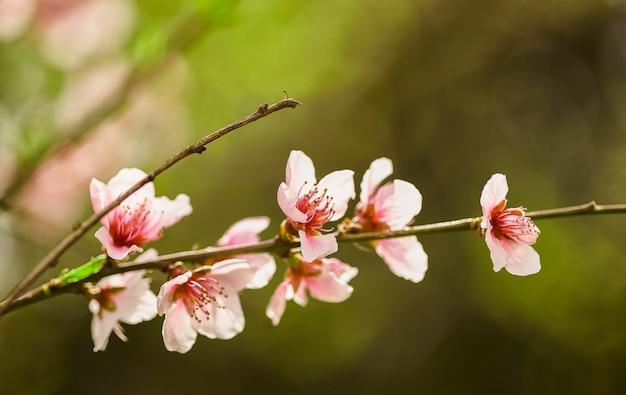 봄에 복숭아 꽃이 만발한 나뭇 가지의 세부 사항