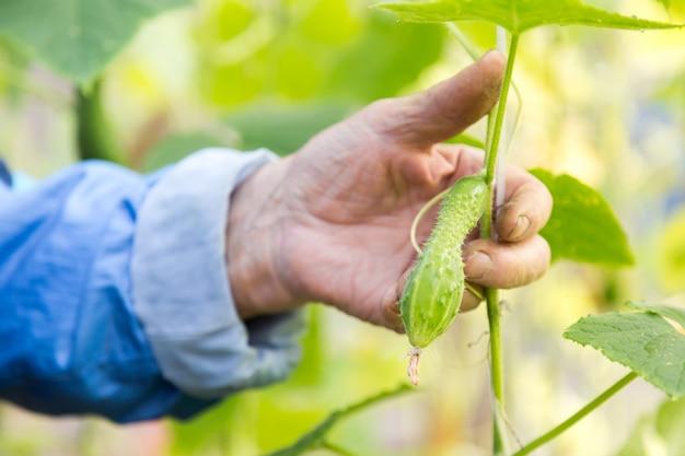 Деталь сморщенной руки старшего человека держа огурец на парнике фермы.