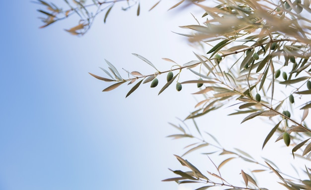 Detail of olive branch with olives growing and blue sky background
