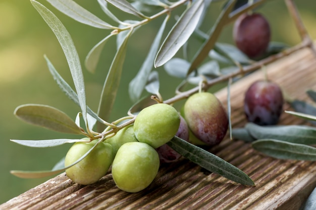 Detail of olive tree branch. closeup of green olives fruits and leaves.