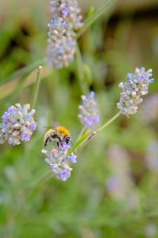 Детальная фотография пчелы, опыляющей цветок лаванды