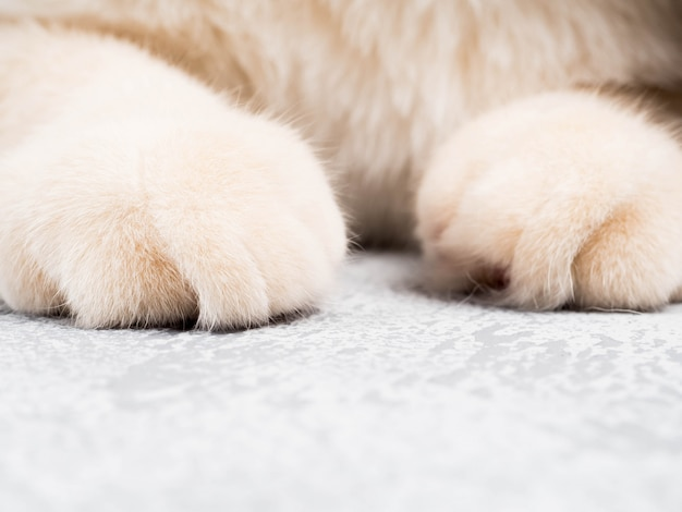 Detail shot of soft cat paws while sitting on table, cute red face cat closeup