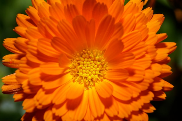 Detail of a sunlit marigold on a country path