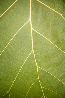 Detail and texture of fresh green banana leaf