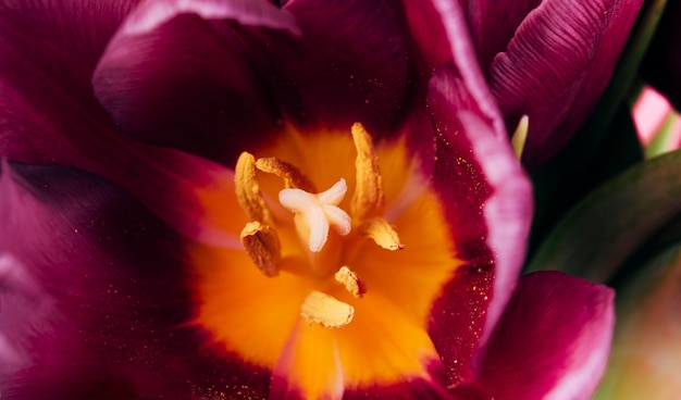 Detail view of tulips stamen and pollen