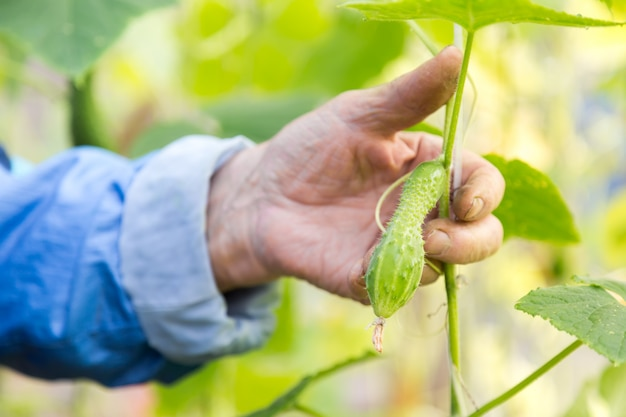 Detail of wrinkled senior man hand holding cucumber at farm greenhouse.