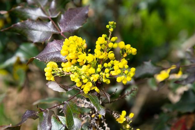 세부 노란색 꽃 mahonia padubolistnayaevergreen 관목 mahonia mahoni 속의 종...
