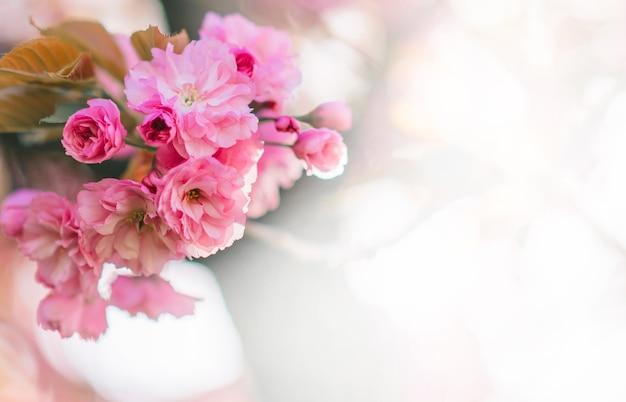 開花する桜の花の詳細なクローズアップ。晴れた春の日。
