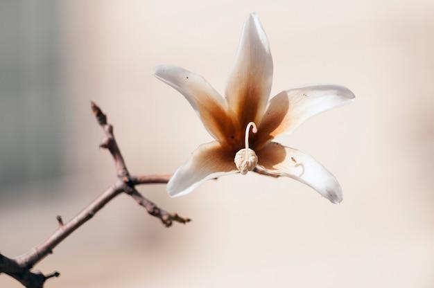 ボトルツリーとも呼ばれるpachypodiumlealii植物の詳細な花