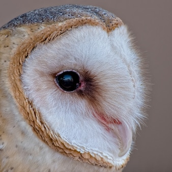Detailed portrait of a barn owl