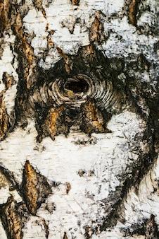 Detailed texture of bark of birch in macro