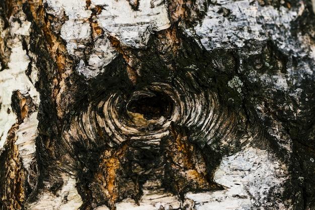 マクロでバーチの樹皮の詳細なテクスチャ。中空のクローズアップと斑点のあるbetula表面の異常な断片。コピースペースを持つツリーの負傷。美しいレリーフ。