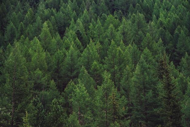丘の上の針葉樹林の詳細なテクスチャをクローズアップ。山腹の木のてっぺんの背景。コピースペースのある急斜面の針葉樹の円錐形。