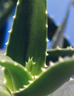 흐릿한 파란색 배경을 가진 알로에 arborescens 식물의 세부 사항