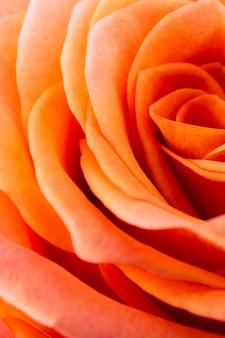 Details of orange rose petals