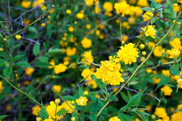 Details of a yellow flowering plant, kerria japonica pleniflora, double flower