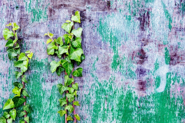 등반 식물로 장식 된 악화 된 나무 벽