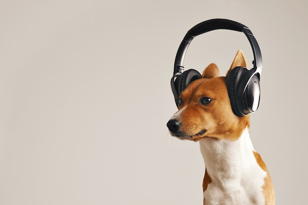 Determined looking white and brown basenji dog wearing huge headphones isolated on white