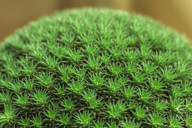 Deuterocohnia-pacific yew genus of plants of the bromeliad family