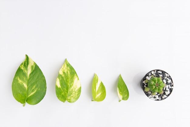 悪魔、ツタ、ゴールデンポトスの葉、白い背景に、トップビューで分離されたサボテンの植木鉢