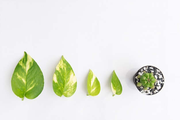 Devil,s ivy, golden pothos leaf and cactus flowerpot  isolated on white background, top view
