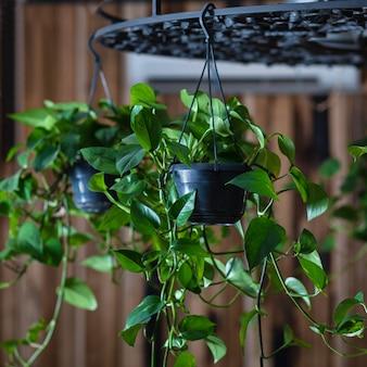 シャンデリアに飾られた悪魔のツタ植物