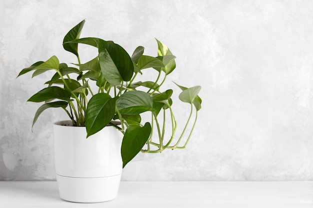 Devil's ivy in a white modern pot