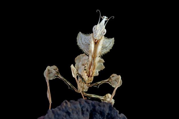 Devils flower mantis closeup on dry bud with black background