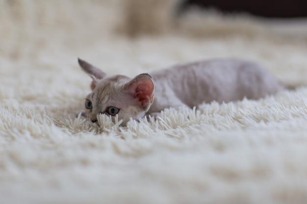 デボンレックスの子猫は毛布の上にあります