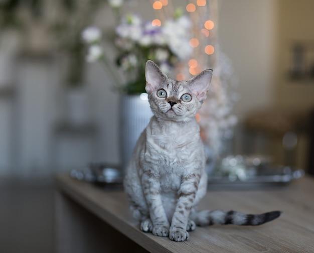 デボンレックス猫はテーブルの上の部屋に座っています