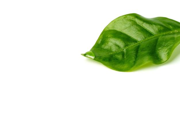흰색 배경에 고립 된 녹색 잎에 이슬 방울