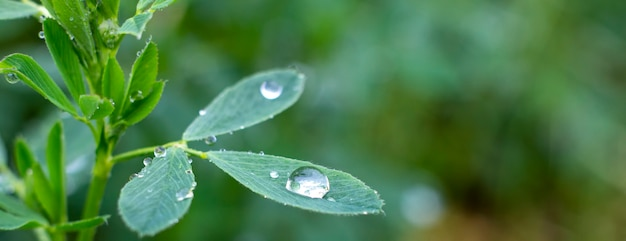 Dew drops on alfalfa leaves, nature and growing grass in the garden.