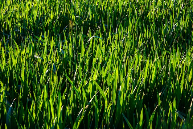 Dew drops on bright green grass
