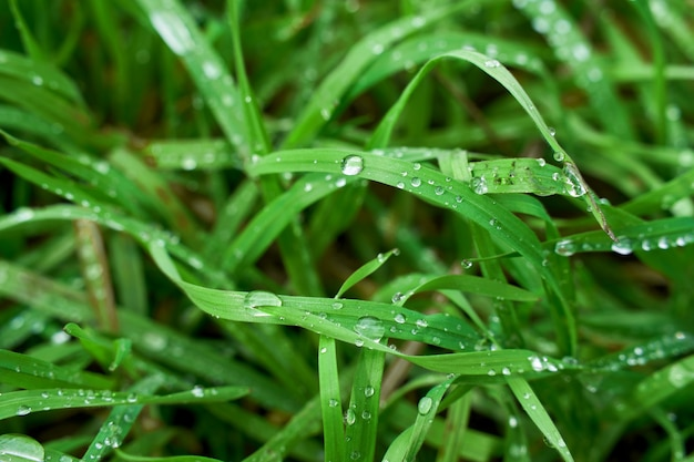 Dew drops on fresh green grass in spring close up background