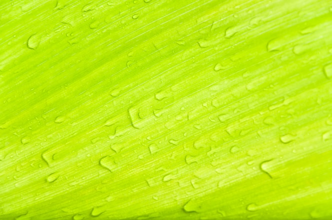 dew drops on green leaves,green leaf texture for background