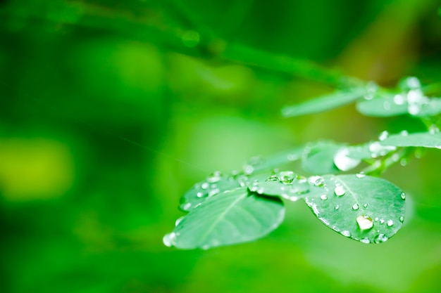 Dew drops on the leaves of plants in the garden during the rainy season