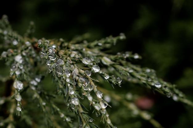 Каплями росы пасмурным днем на сосновых листьях сосны