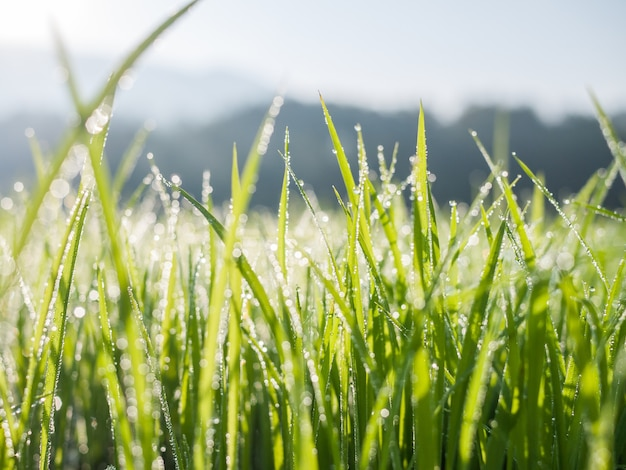 朝の緑の草の葉に露の滴