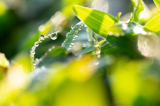 Dew drops in winter