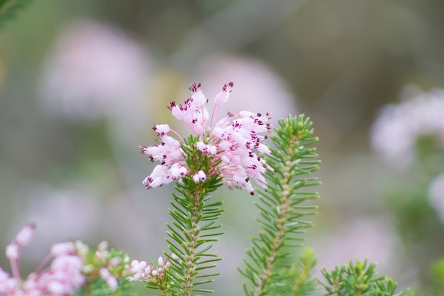 Dew laden fowering inflorescences arranged in racemes of the mediterranean heath erica multiflora