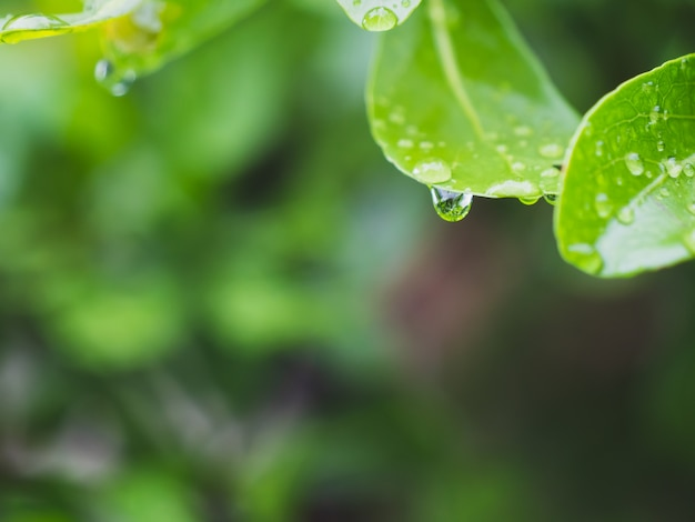 Dew on the leaves after rain in the rainy season