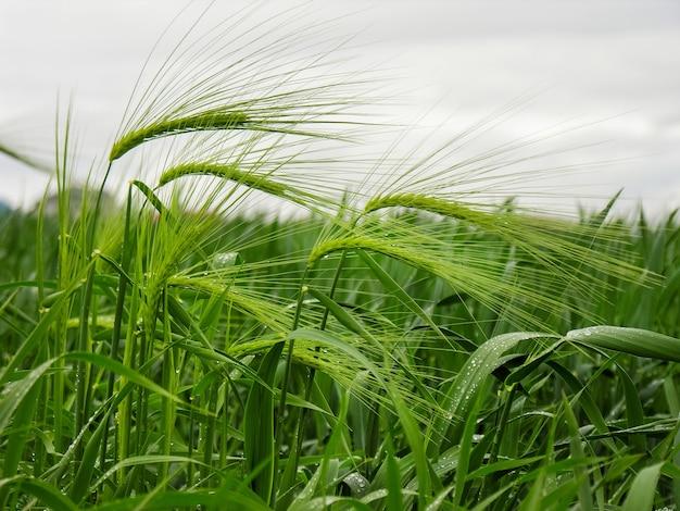 Капли росы на колоске. поле пшеницы дождливым утром.