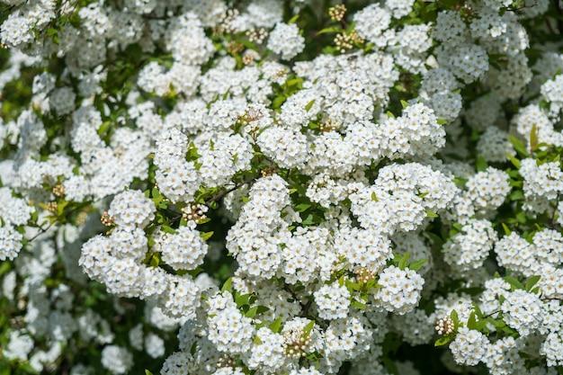 Росистые цветущие кусты спиреи свадебного венка, цветочный фон.