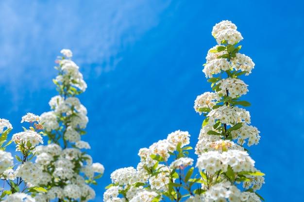 涙にぬれた開花低木ブライダルリーススピレア、花。