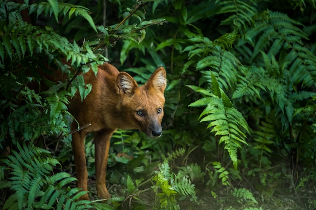 Dhole, asian wild dog in the nature