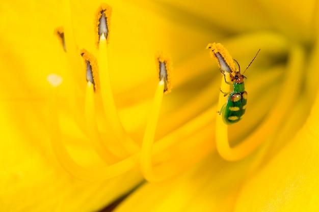 黄色のユリにdiabrotica speciosa