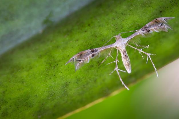 Diacrotricha fasciola или карамболь на зеленый лист