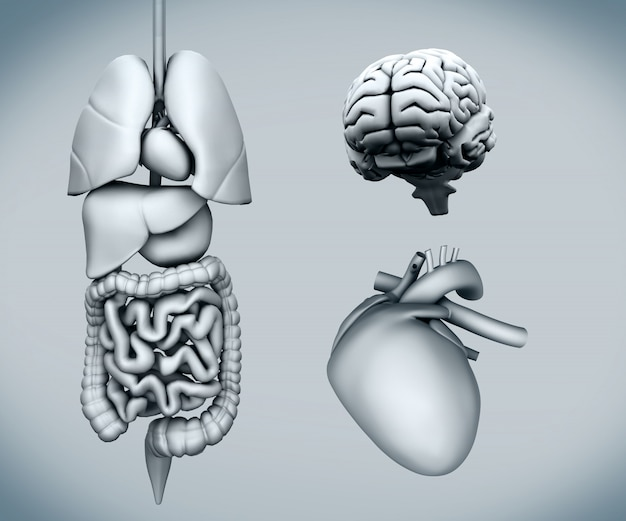 Diagram of human organs on white background